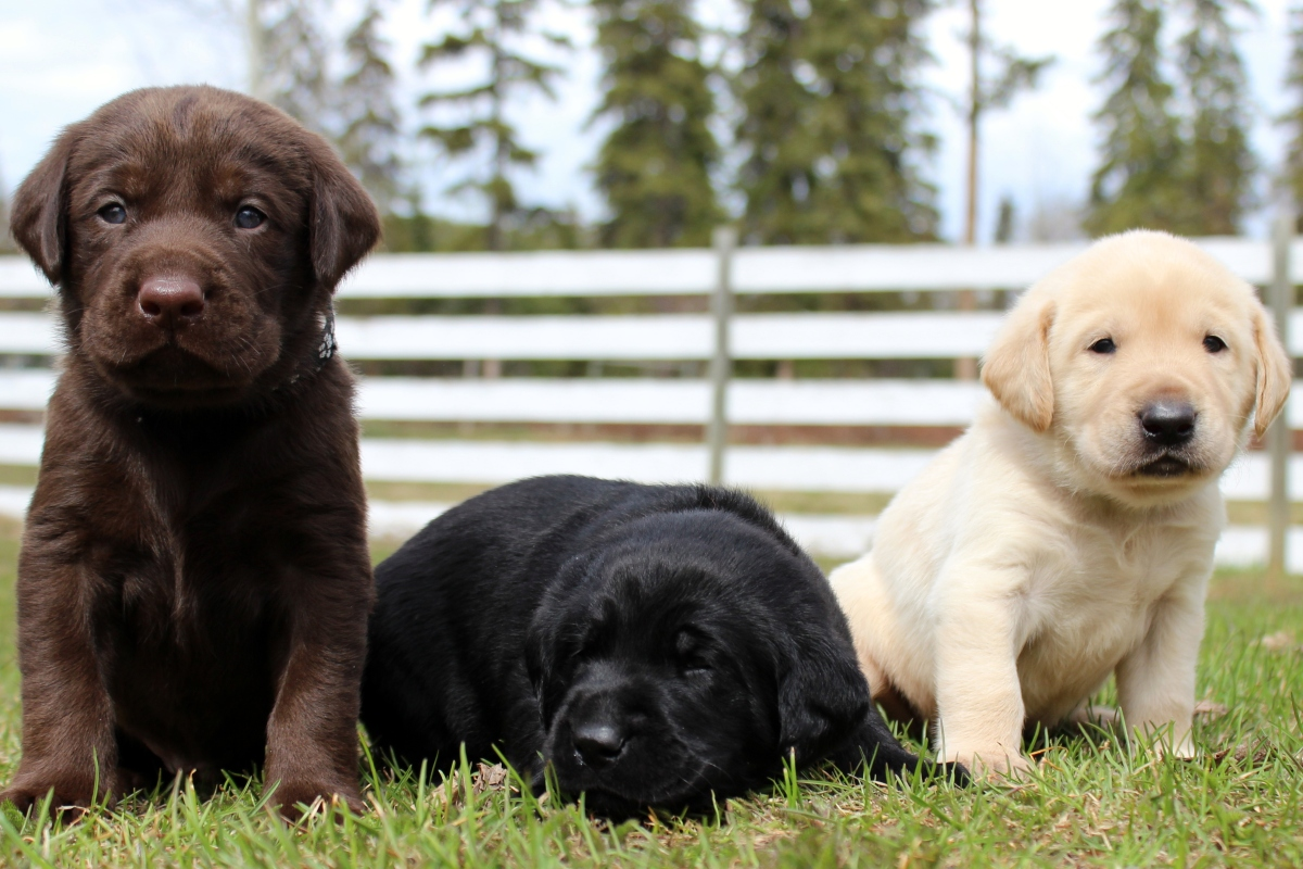 Eromit Labrador Retrievers | Truly Versatile Labs