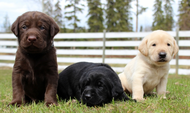 L-PuppiesCocver215