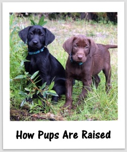 How Pups are raised